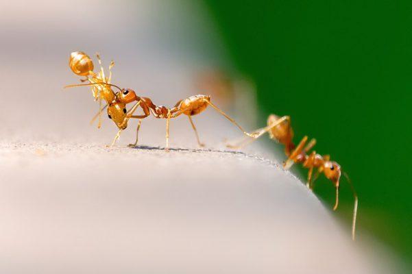 Come eliminare le formiche da casa